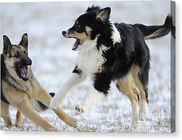Dogs Playing In Snow Canvas Print by David & Micha Sheldon