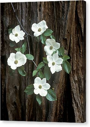 Dogwood And Redwod Canvas Print