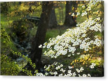 Dogwood And Sunlight Canvas Print by Mark Wagoner