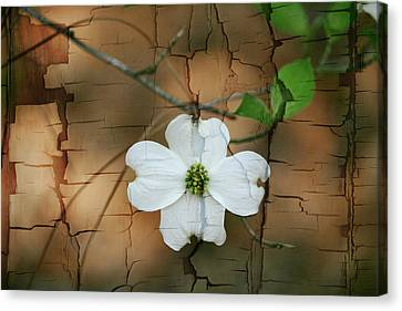 Dogwood Bloom Canvas Print by Cathy Harper
