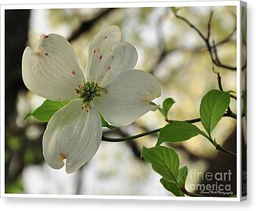 Dogwood Bloom Canvas Print