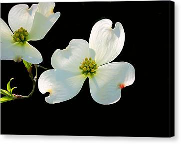 Dogwood Blossoms Canvas Print by Kristin Elmquist