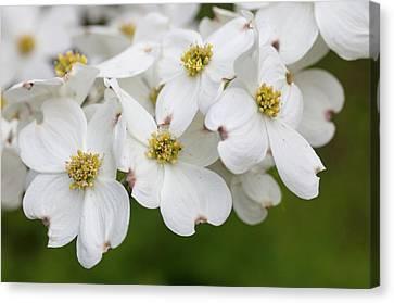 Dogwood Blossoms North Carolina Blue Ridge Parkway Canvas Print by Mark VanDyke