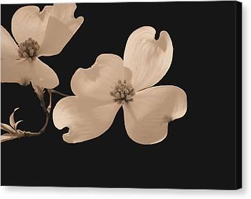Dogwood Blossoms Sepia Canvas Print by Kristin Elmquist