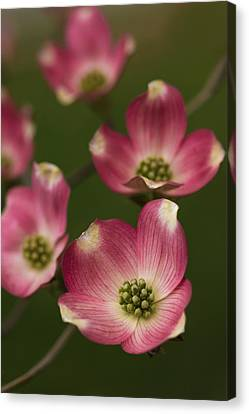 Dogwood Dance In Pink Canvas Print