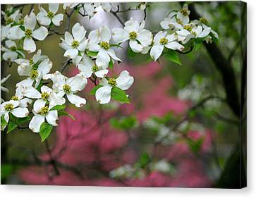 Dogwood Days Canvas Print by Living Color Photography Lorraine Lynch