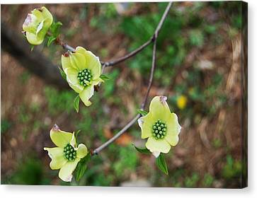 Dogwood Flowers Canvas Print by Julie VanDore