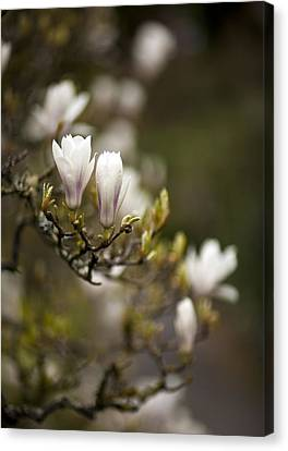 Dogwood Gathering Canvas Print by Mike Reid