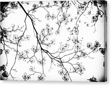 Dogwood In Bloom  Black And White Canvas Print by Mother Nature