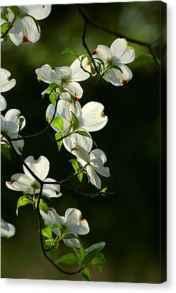 Dogwood Retrospective Canvas Print by Michael Dougherty