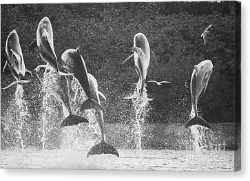 Dolphin Dance Canvas Print by Wilko Van de Kamp