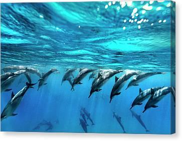 Dolphin Dive Canvas Print by Sean Davey