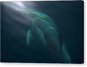 Canvas Print featuring the photograph Dolphin Dreaming by Odille Esmonde-Morgan