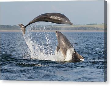 Dolphins Having Fun Canvas Print