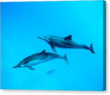 Michael Sweet Canvas Print - Dolphin Lovers by Michael Sweet