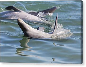 Dolphins Playing Canvas Print by Lenscraft Niel Morley
