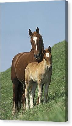 Domestic Horse Equus Caballus Mare Canvas Print
