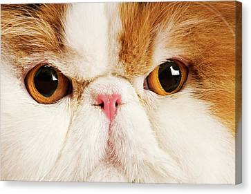Domestic Persian Cat Against White Background. Canvas Print by Martin Harvey