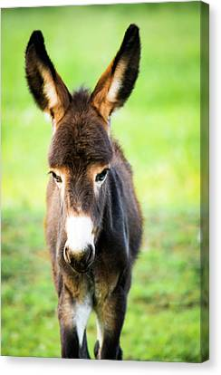 Donkey Ears Canvas Print by Shelby Young