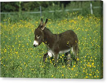 Donkey Equus Asinus Foal In Field Canvas Print by Konrad Wothe