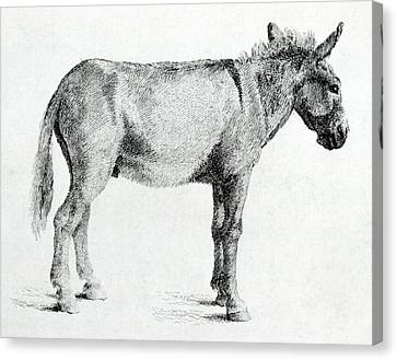 Donkey Canvas Print by George Stubbs