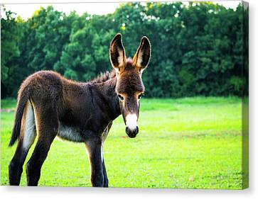 Donkey In The Pasture Canvas Print by Shelby Young