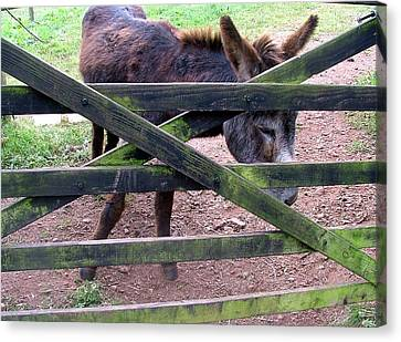 Donkey Ready Canvas Print by Mindy Newman
