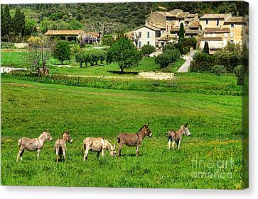 Donkeys In Provence Canvas Print by Olivier Le Queinec