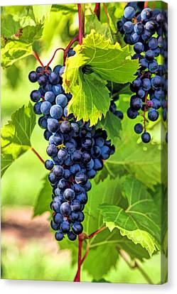 Door County Grape Cluster Canvas Print by Christopher Arndt