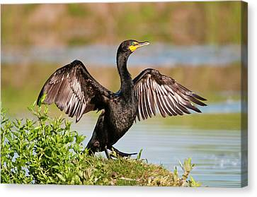 Double-crested Cormorant Canvas Print by Gary Lengyel