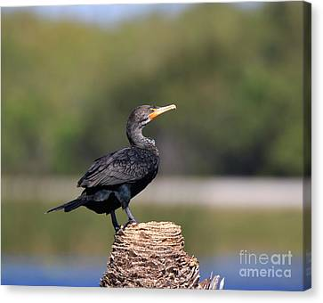 Phalacrocorax Auritus Canvas Print - Double Crested Cormorant by Louise Heusinkveld