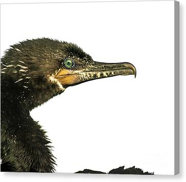 Canvas Print featuring the photograph Double-crested Cormorant  by Robert Frederick