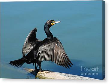 Double-crested Cormorant Spreading Wings Canvas Print by Merrimon Crawford