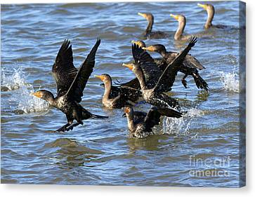 Double Crested Cormorants Canvas Print by Louise Heusinkveld