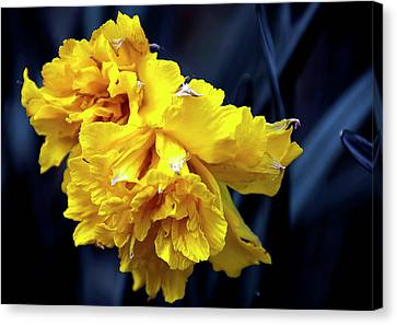 Double Daffodil Canvas Print by Svetlana Sewell