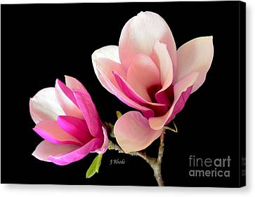 Double Magnolia Blooms Canvas Print by Jeannie Rhode