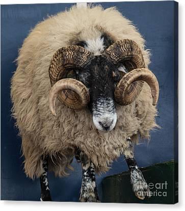 Dougal The Dancing Sheep  Canvas Print by Rob Hawkins