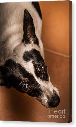 Fox Terrier Canvas Print - Dough-eyed Dog by Jorgo Photography - Wall Art Gallery