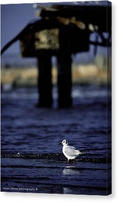 Dove In Theold Port Of Tel  Aviv Canvas Print