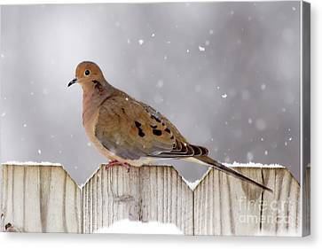 Dove In The Snow Canvas Print by Betty LaRue