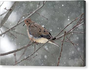 Dove In The Snow Canvas Print by Debbie Oppermann