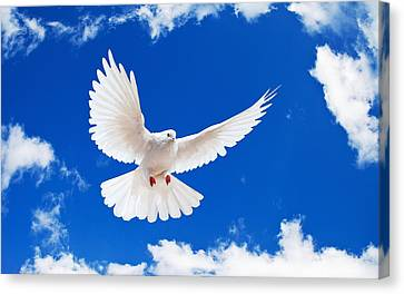 Dove Canvas Print - Dove by Shania Torn