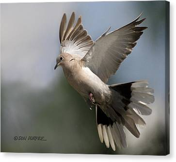 Dove Takeoff Canvas Print by Don Durfee