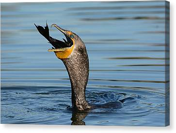 Double-crested Cormorant Canvas Print - Down The Hatch by Fraida Gutovich