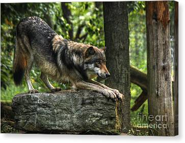 Downward Facing Wolf Canvas Print by William Fields
