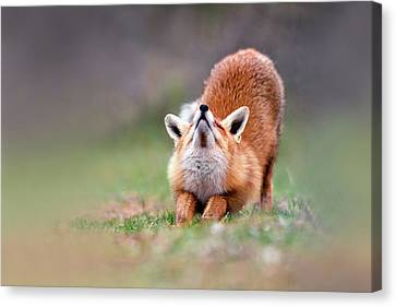 Downward Fox Canvas Print