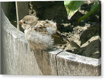 Canvas Print featuring the photograph Downy Nestling by Pamela Patch