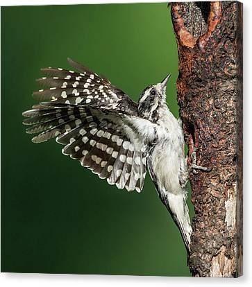 Downy Woodpecker Female Square Canvas Print