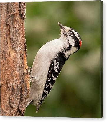 Downy Woodpecker In Minnesota Canvas Print
