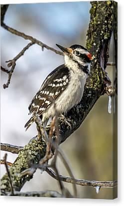 Downy Woodpecker Canvas Print